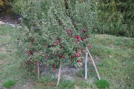 Apfelbäume bringen reiche Ernte im oberen Teil von Lower Mustang und in Upper Mustang. Die Äpfel sind sehr lecker und kosten zwischen 0,50 und 1,20 Euro pro kg, je nachdem wo sie verkauft werden.