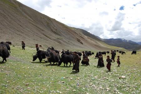 Die Nakherde in Tinjegaon war nicht begeistert, als die Frauen sie fürs Foto von ihrer saftigen Hochweide bergab trieben.