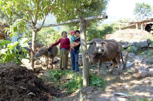 Die 56jährige Witwe Till K.C. sorgt für ihren Sohn und ihren Enkel. Ihre Tochter wurde von ihrem Mann verlassen und arbeitet für mehrere Jahre in Dubai. Mit dem Dung der Tiere erntet sie jetzt Reis für fünf Monate.