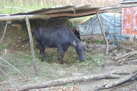 Yomends prachtvolle neue Wasserbüffelkuh – die Witwe hat sich nicht übers Ohr hauen lassen!